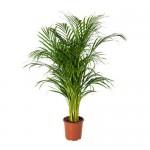 Roślina doniczkowa Chrysalidocarpus lutescens