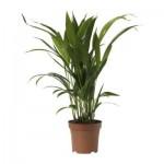 CHRYSALIDOCARPUS LUTESCENS Saksı bitki