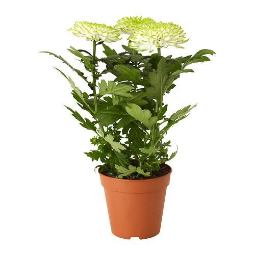 plantas en maceta CRISANTEMO