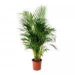 plante Chrysalidocarpus LUTESCENS Potted