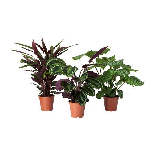 Calathea planta en maceta