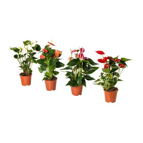 ANTHURIUM растение в горшке