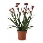 ANIGOZANTHOS растение в саксия