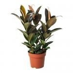 Ficus elastica Topfpflanze