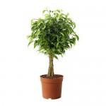 FICUS BENJAMINA 'NATASHA' Topfpflanze