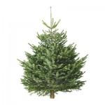 ABIES NORDMANNIANA Рождественская елка