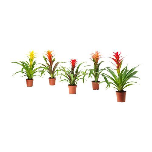 Bromeliaceae impianto in vaso