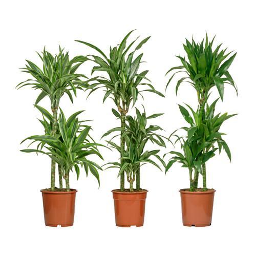 DRACAENA DEREMENSIS Растение в горшке