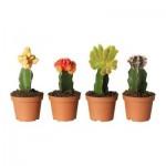 GYMNOCALYCIUM Topfpflanze