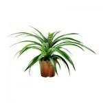 ANANAS Растение в горшке