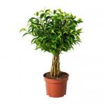 FICUS BENJAMINA 'NATASJA' Topfpflanze