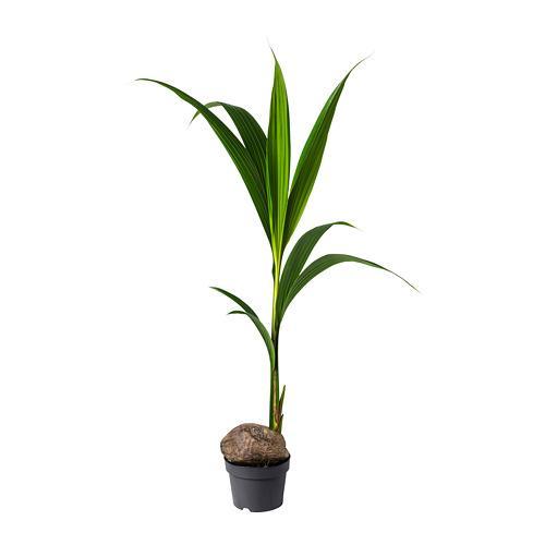 COCOS NUCIFERA Растение в горшке