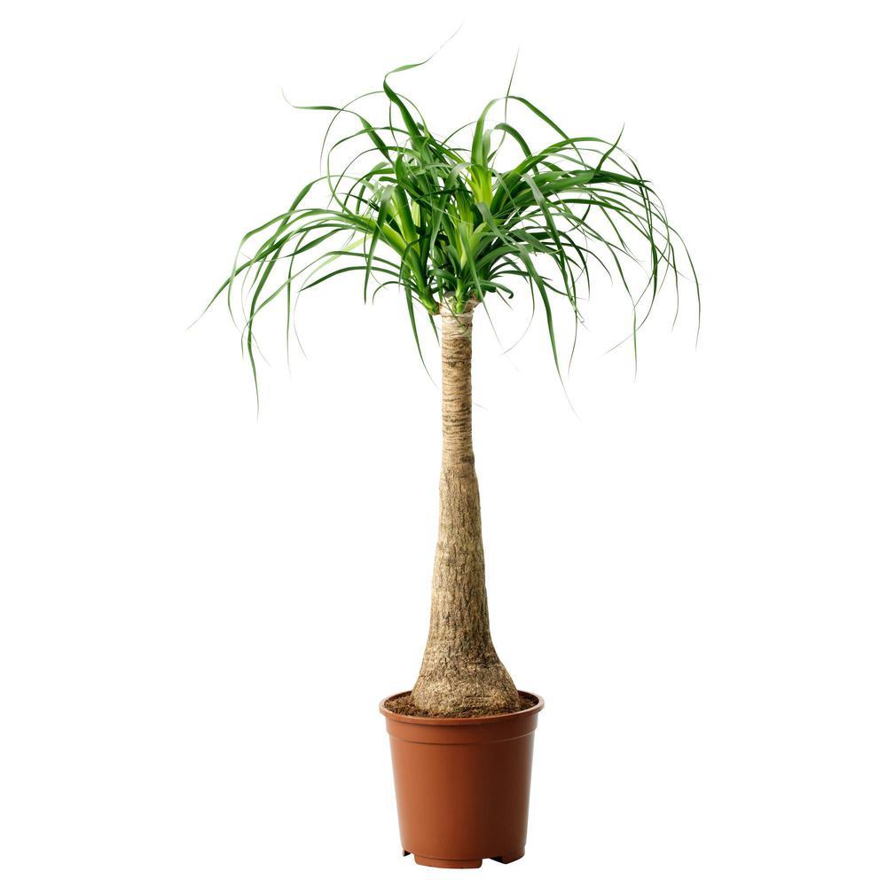 BEAUCARNEA RECURVATA Topfpflanze (501.604.68) - Bewertungen ...
