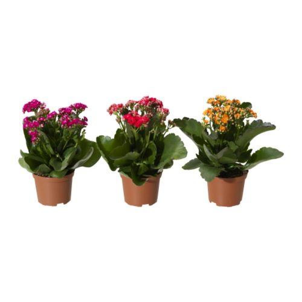 Комнатные цветы в горшках купить недорого в ОБИ, цены на 21